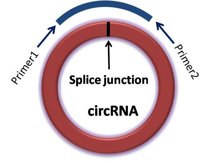 circRNA(环状RNA)定量PCR