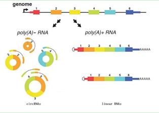 circRNA(环状RNA)荧光定量PCR实验